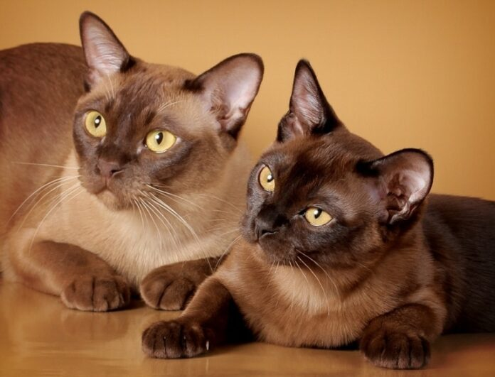 Jedna ili dvije mačke