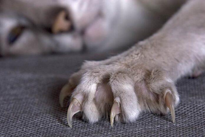 Skraćivanje kandži mačke
