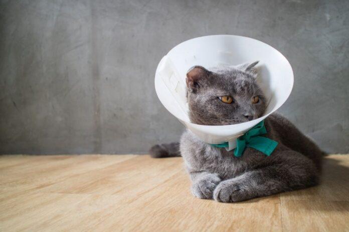 mačka nakon operacije