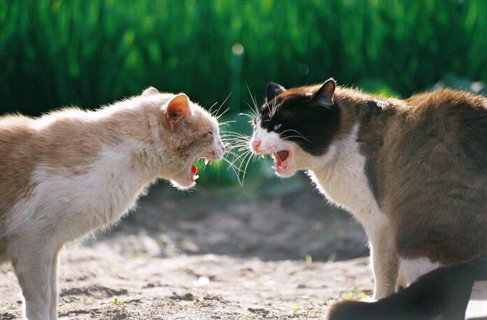 borbe između mačaka